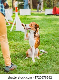 The dog does tricks in competition, raises its front paw, gives a high five, and looks at the dog trainer