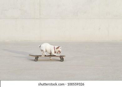 dog doing skateboarding in the city