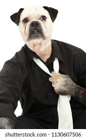 Dog in Dress Shirt and Tie human body over white.