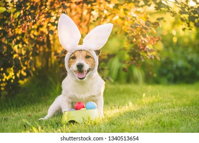 Dog dressed up with bunny ears costume for Easter celebration sitting with bawl of colorful painted eggs at sunny lawn