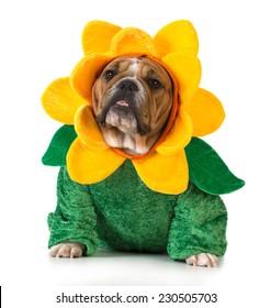 dog dressed like a flower - english bulldog wearing sunflower costume on white background