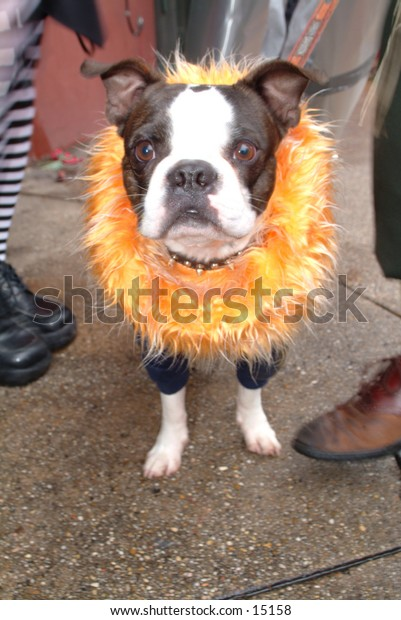 Dog dressed up for Mardi Gras