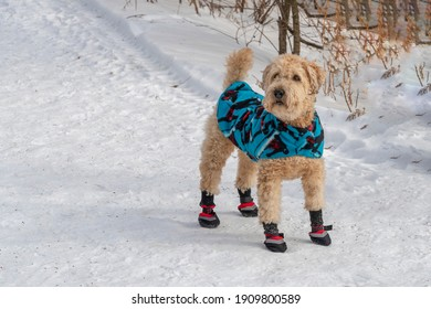 A dog dressed in a warm cape and red boots stands on a snow-covered path near the fence