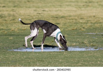 Dog drinking from a puddle of water at the park