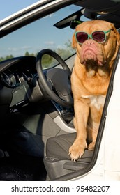 Dog driver with sunglasses sitting in the car
