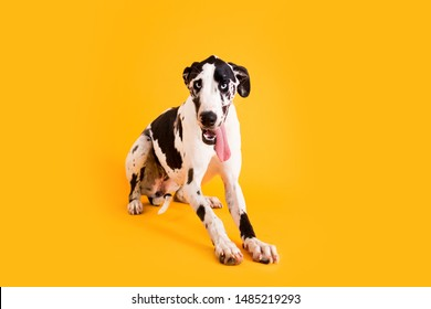 Dog Drooling with Tongue Out