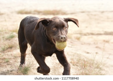 Dog in dunes playing with his ball