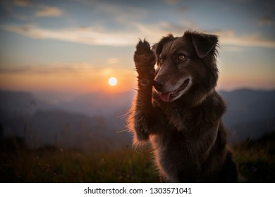 5165d56bf7d16 Dog during sunrise in the mountains of Austria. Dog is waving paw. Obedient  dog