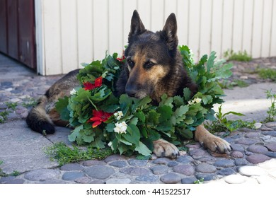 Dog East European Shepherd with wreath from oak leaves with jasmine and red flowers on wooden background. Midsummer in Latvia. celebration of Ligo feast in june