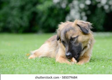 Dog eat bone on meadow