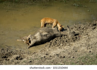 Dog eating dead cow body dumped in lake, photo belongs to Rajasthan and it seems animal was dead due to some disease. Scene explaining Obligate scavenging.