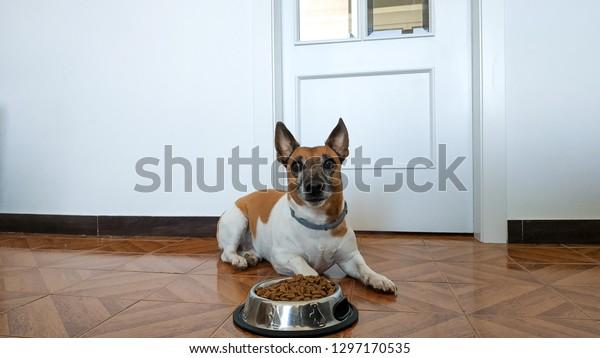 Dog eating at home