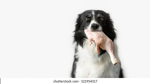 Dog Eating Raw Meat. Black and White Border Collie with Raw Chicken Thigh in Mouth. White Background. Barf Methode.