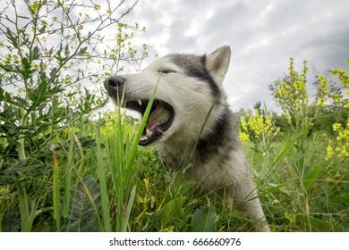 The dog eats grass. Siberian husky in the grass.