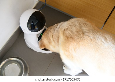 Dog electronic feeder. Labrador eats from a controlled bowl. Robot for a dog.