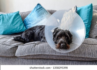 Dog with Elizabethan Collar fitted after operation.