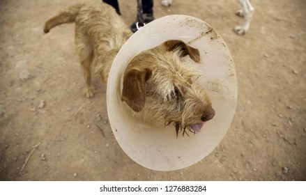 Dog with Elizabethan collar  in veterinary treatment, animals