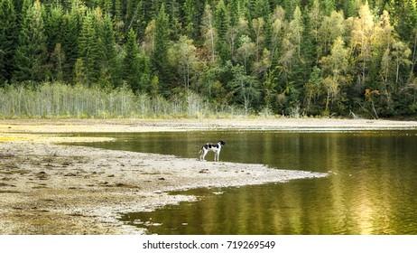 Dog english pointer enjoying autumn nature at the lake Selbu