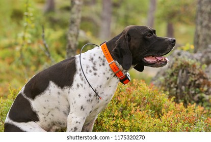 Dog english pointer sitting in the forest with gps tracker