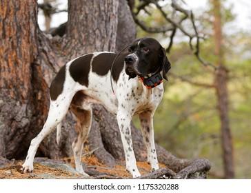 Dog english pointer standing under pine tree, having gps tracker