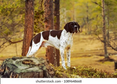 Dog english pointer standing in the wild woods under pine tree