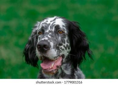 Dog English Setter in green nature garden