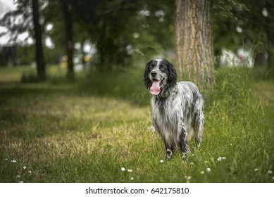 A dog, an english setter, sitting in a tall grass on a beautiful summer day, relaxed and peaceful