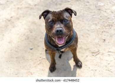 Dog (English Staffordshire Bull Terrier) is standing in the field. The dog is happy and smiling.
