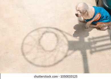 Dog enjoying in the summer scene. Poodle dog sitting outside at afternoon by the shadow of a basketball hoop.