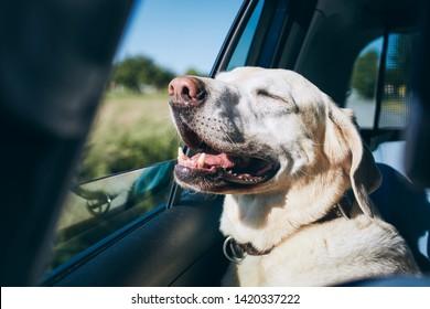 Dog enjoying from traveling by car. Labrador retriever looking through window on road.