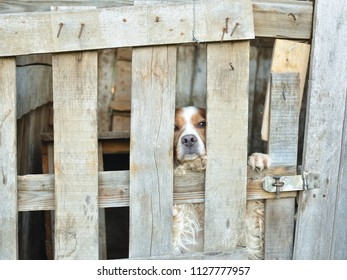 Dog - epagnuel breton - behind wooden lattices of his garden house