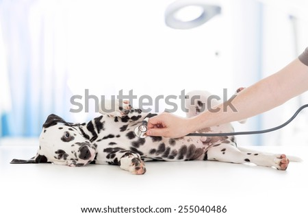dog examination by veterinary doctor with stethoscope in clinic