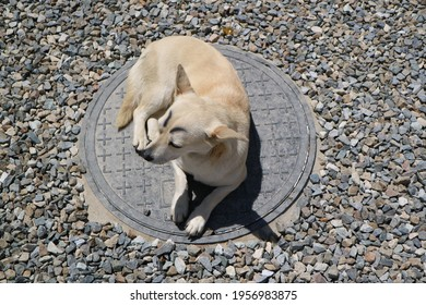 dog with eyeblows sitting on a manhole cover