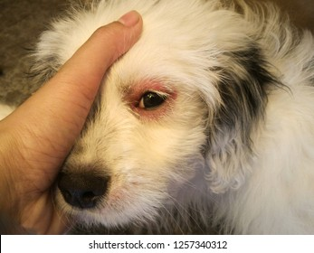 Dog eyes infection - Dog with irritated red eyes suffering from something allergy.