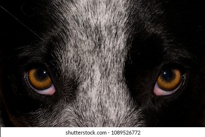 Dog eyes looking up to viewer, closeup and intense