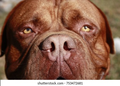 Dog face background.Dog portrait of a male huge purebred Dogue de Bordeaux or French Mastiff, staring at you, with an spiked collar, standing on the grass. Taken in morning light in autumn. Spain.