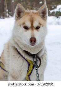 dog face haski