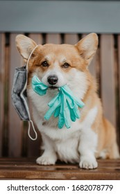 A dog with a face mask hanging on its ear holding gloves in its mouth