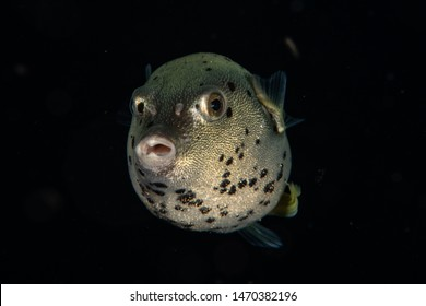 Dog Faced Puffer Fish in black water