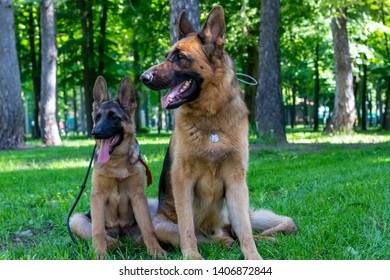 Dog Family. Adult with Puppy. German Shepherd Pet Sitting on Green Grass with Tounge Outside. Beauty Brown Fur Young and Adult Curious Pet Sit and Looking Side. Summer Outdoor Playing.