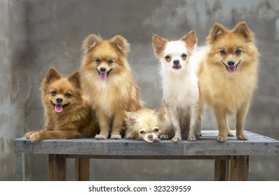 dog family,there are three brown Pomeranian dogs ,mother sister brother.Two friends Chihuahua.
