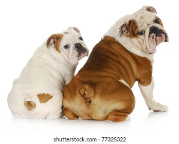 dog father and son - two english bulldogs looking at viewer over shoulder