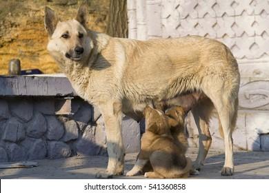 Dog is feeding puppies.