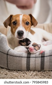 The dog feeds the puppies of the newborn breed Jack Russell Terrier, Age six days