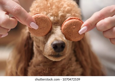 Dog. Female hands hold macaroons.