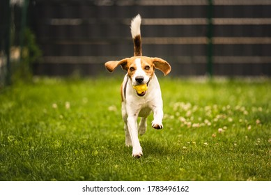 Dog fetch a yellow ball in backyard. Active training with beagle dog. Canine theme