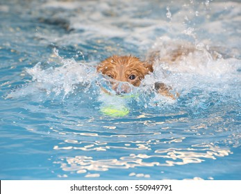 Dog is fetching a ball in the water. The dog is enjoying and splashing the water. The dog breed is Nova Scotia duck tolling retriever also known as the toller.