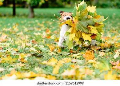 Dog fetching thanksgiving colorful bouquet made of maple leaves