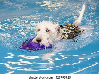 Dog is fetching a toy in the water by swimming.