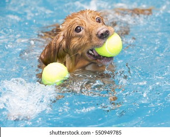 Dog is fetching two balls in the water. The dog is enjoying and splashing the water. The dog breed is Nova Scotia duck tolling retriever also known as the toller.